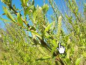 Salix alba Blütenkätzchen - by Willow Wikimedia Commons