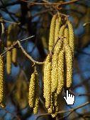 Gemeine Hasel Blütenkätzchen - by 4028mdk09 Wikimedia Commons